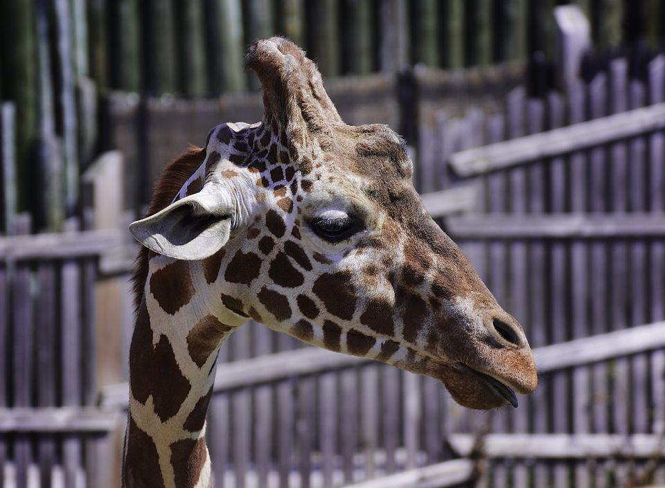 Giraffe Portait in Profile