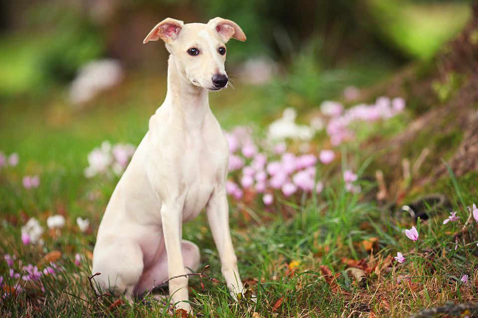 Fawn whippet dog in woodland