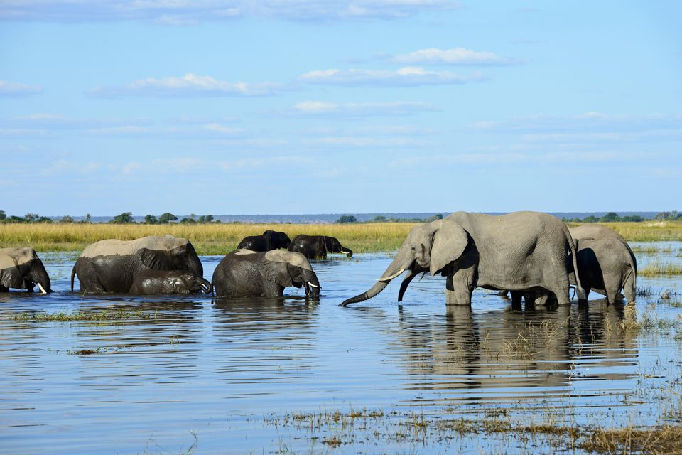African elephants drinking in the waters of Chobe National Park