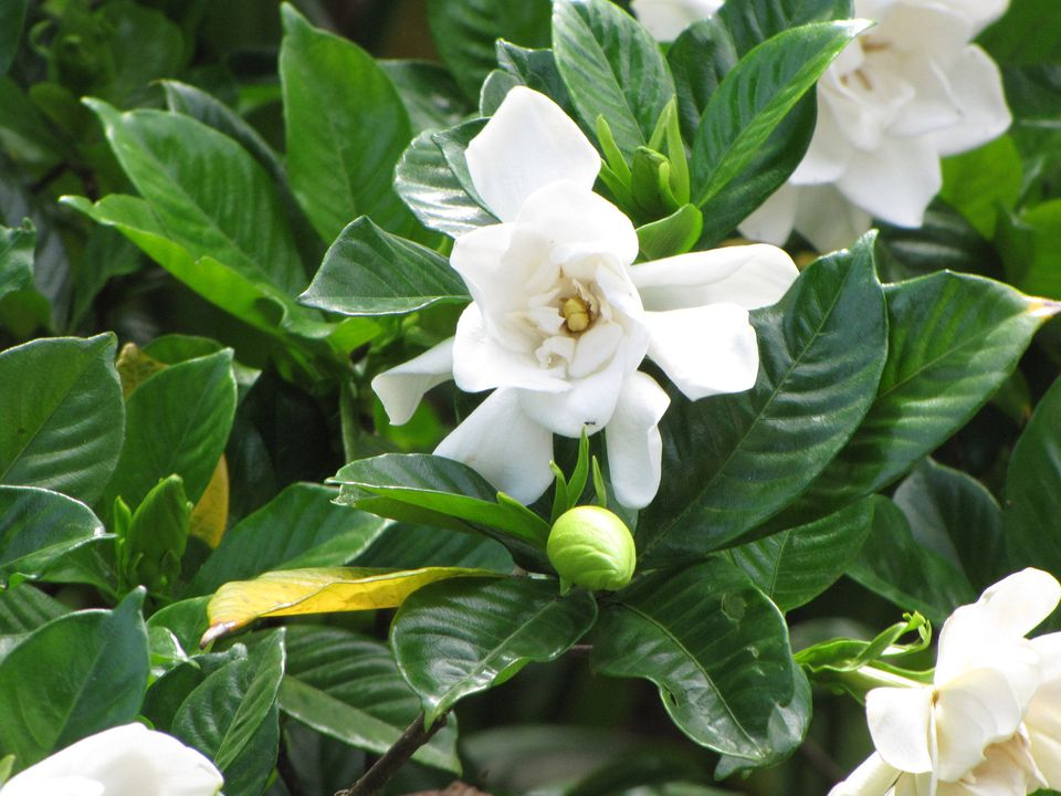16 plants that smell best at night fragrant white gardenia in maui flickr members forest and kim starr mightylinksfo
