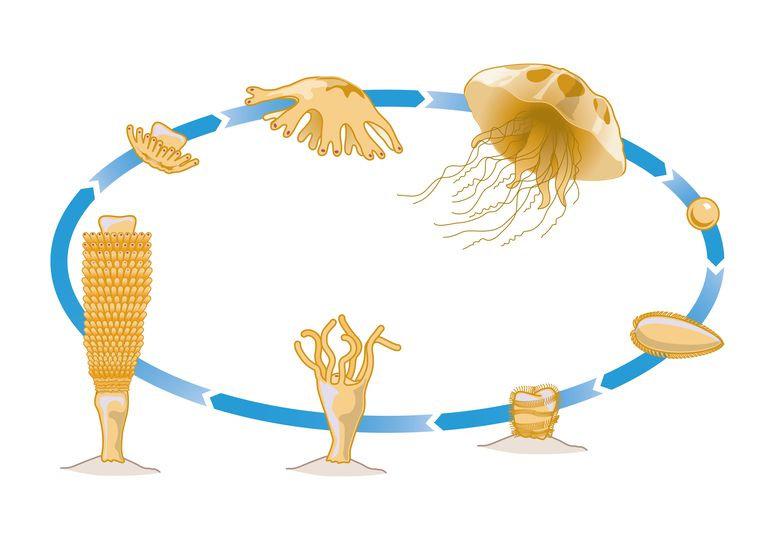 Digital illustration of life cycle of Jellyfish showing Medusa mobile phase, Sperm, planula larva, p