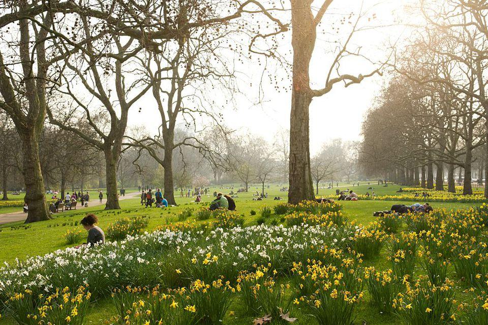 Daffodils St James Park