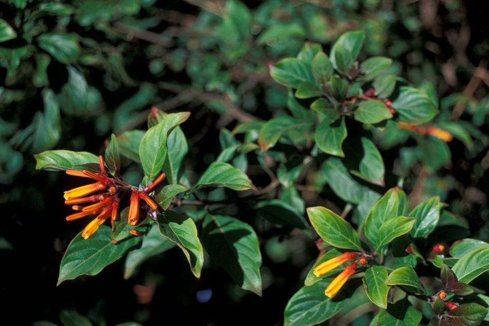 You can bring hummingbirds to your yard by planting a firebush