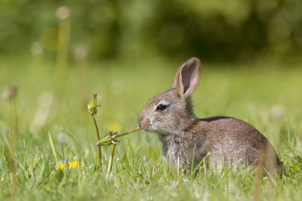 Young European rabbit (Oryctolagus cuniculus) hiding in the grass