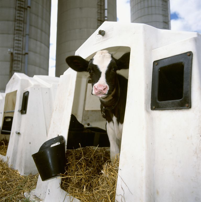 Livestock - A Holstein dairy calf in a hutch at a dairy / Ontario, Canada.