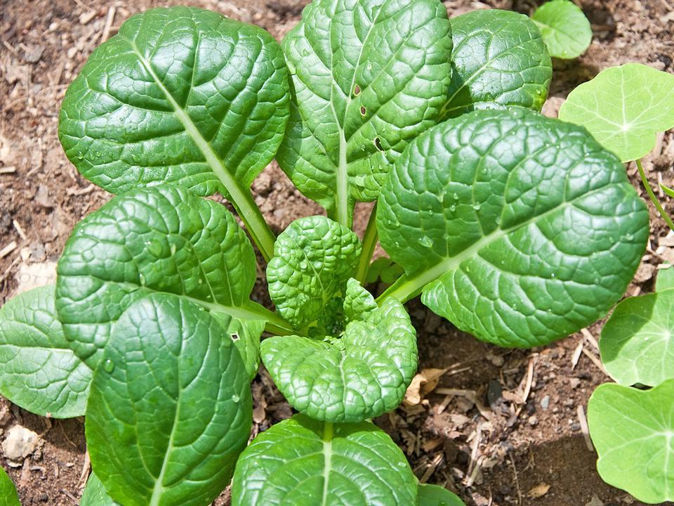 Tatsoi Plant