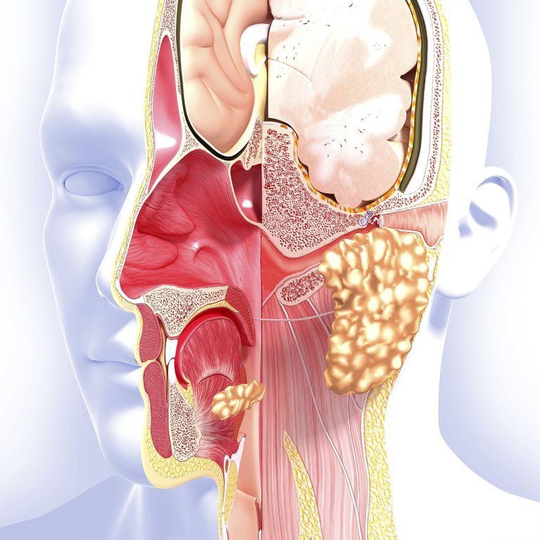 head anatomy