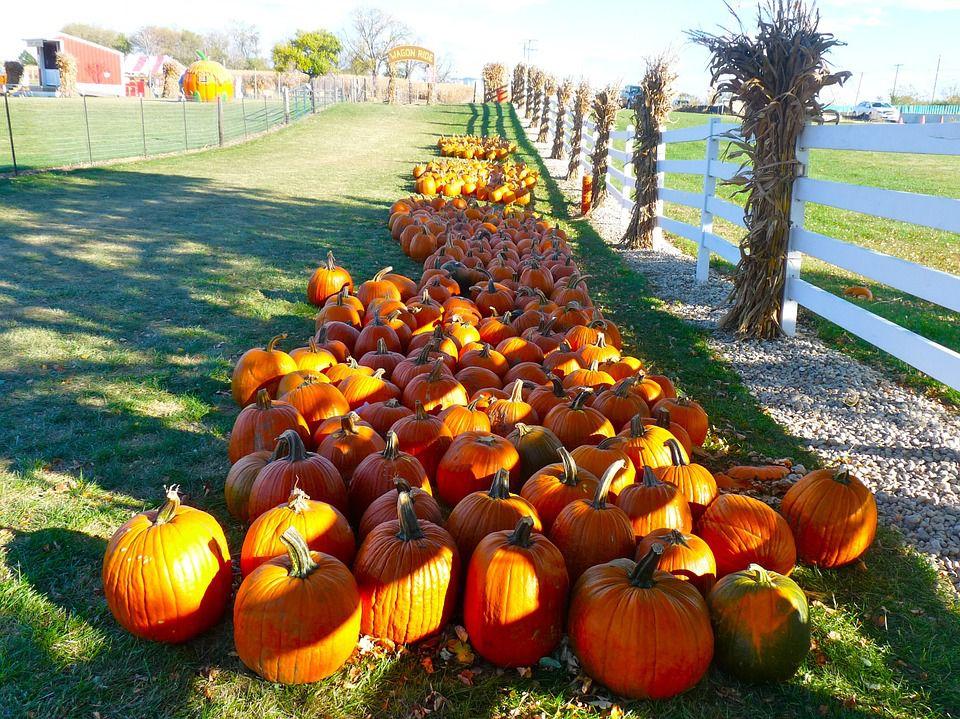 Fall festival pumpkins