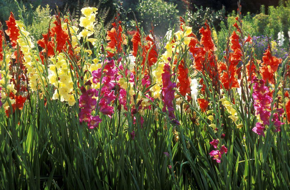 mixed varieties of gladiolus flowering in august, norfolk