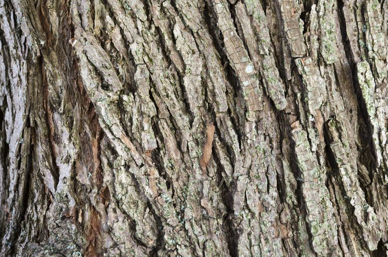 Willow bark (Salix sp.) has a characteristic appearance.