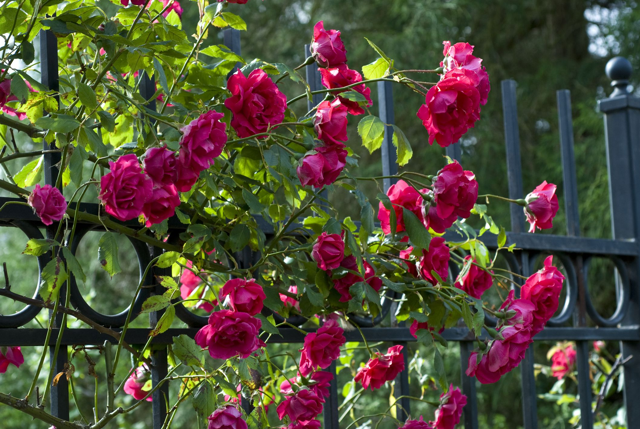 Care Of Climbing Roses In Winter Best Rose 2017