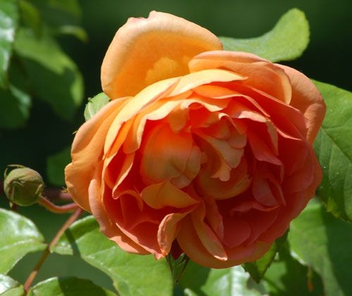 "The ""Pat Austin"" rose displays a coppery color. This copper color rose is a David Austin variety."