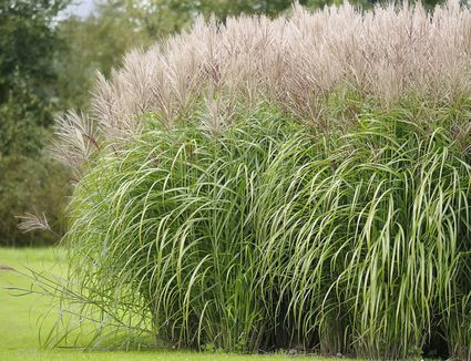 Best ornamental grasses for privacy for Best tall grasses for privacy