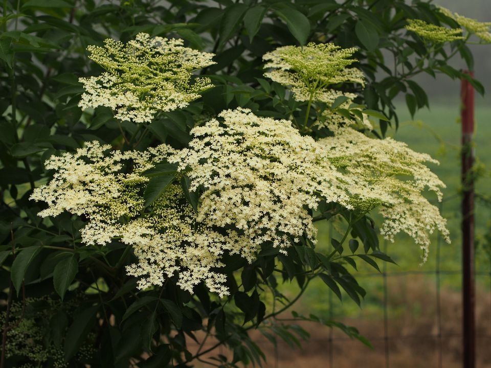 Clusters of dainty white flowers are formed on the American elderberry