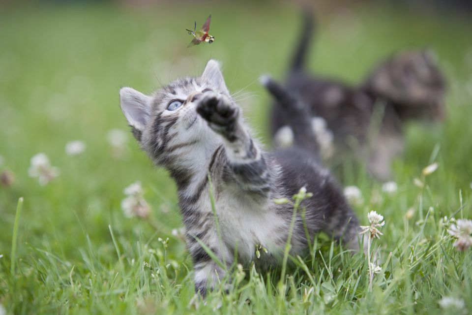 kitten playing with a bug