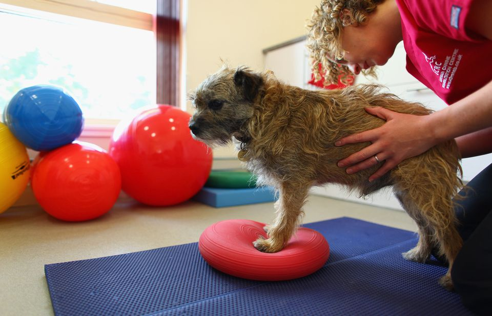 Canine Rehabilitation Physical Therapy Dog