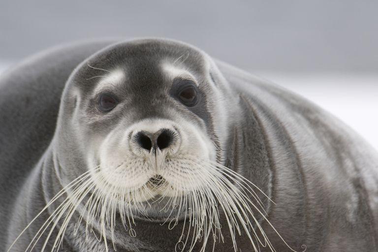 Bearded Seal / Daisy Gilardini/Stone/Getty Images