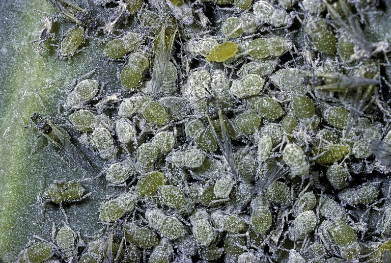 Mass of aphids.
