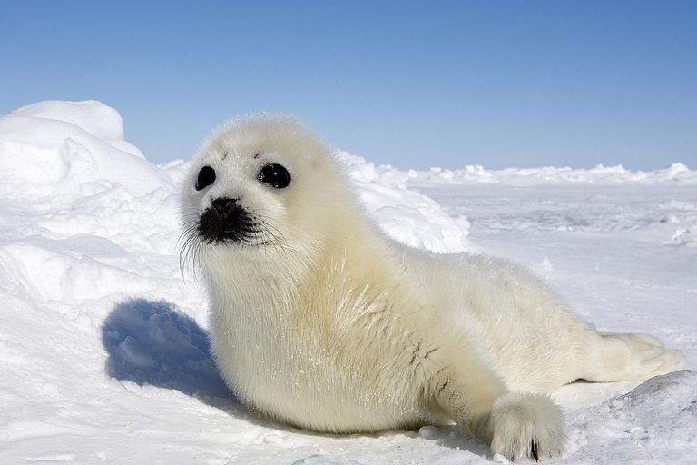 related pictures seal arctic - photo #7