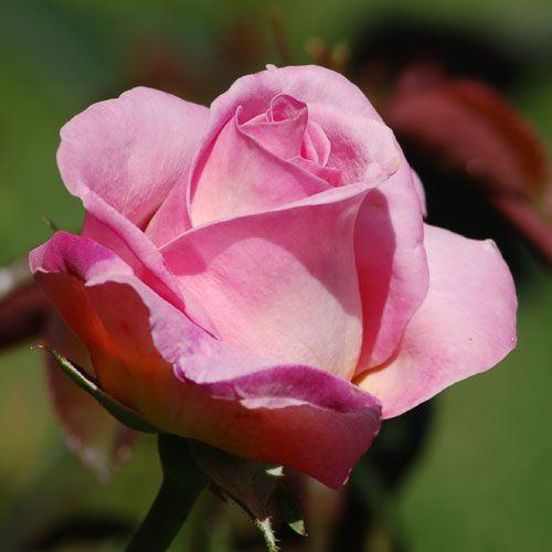 """Picture of """"Elle,"""" a hybrid tea pink rose. """"Elle"""" is a medium-pink rose."""