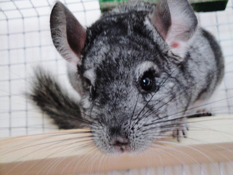Close up of a gray chinchilla