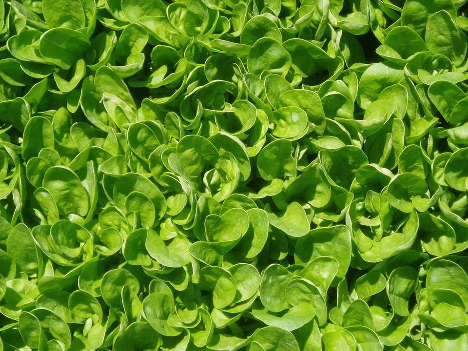 Spinach F1 'SPD415'