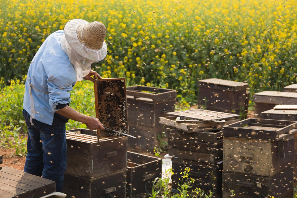 China, Yunnan, Luoping. A beekeeper amongst the mustard fields in blossom in Luoping.
