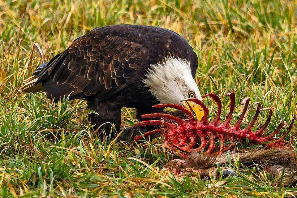 Bald Eagle Eating Carrion