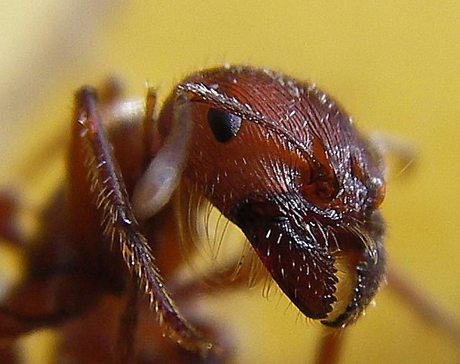Harvester Ants. Learn About All Kinds of Ants   Introduction