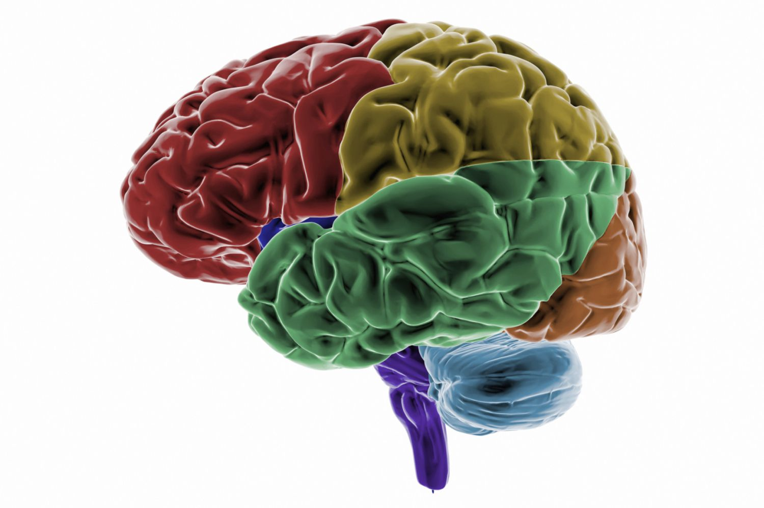 Parts of the brain lobes and their functions