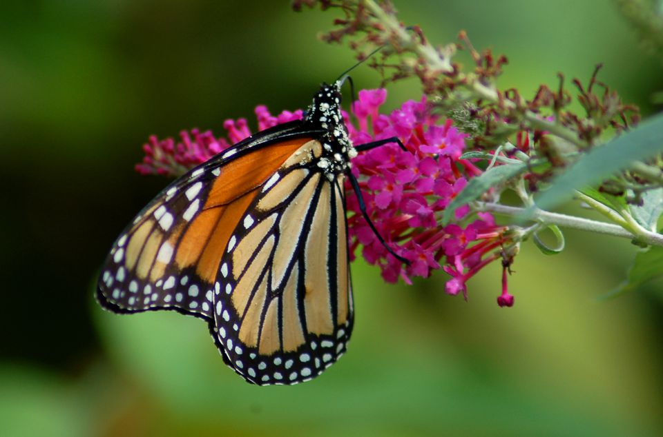 Image of a monarch on a butterfly bush flower.