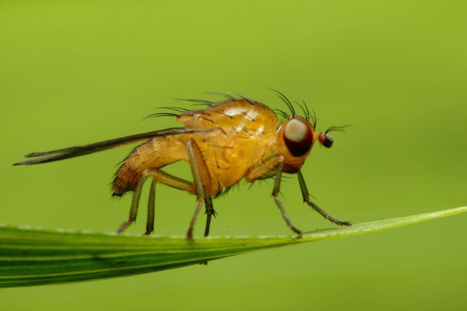 Orange fruit fly