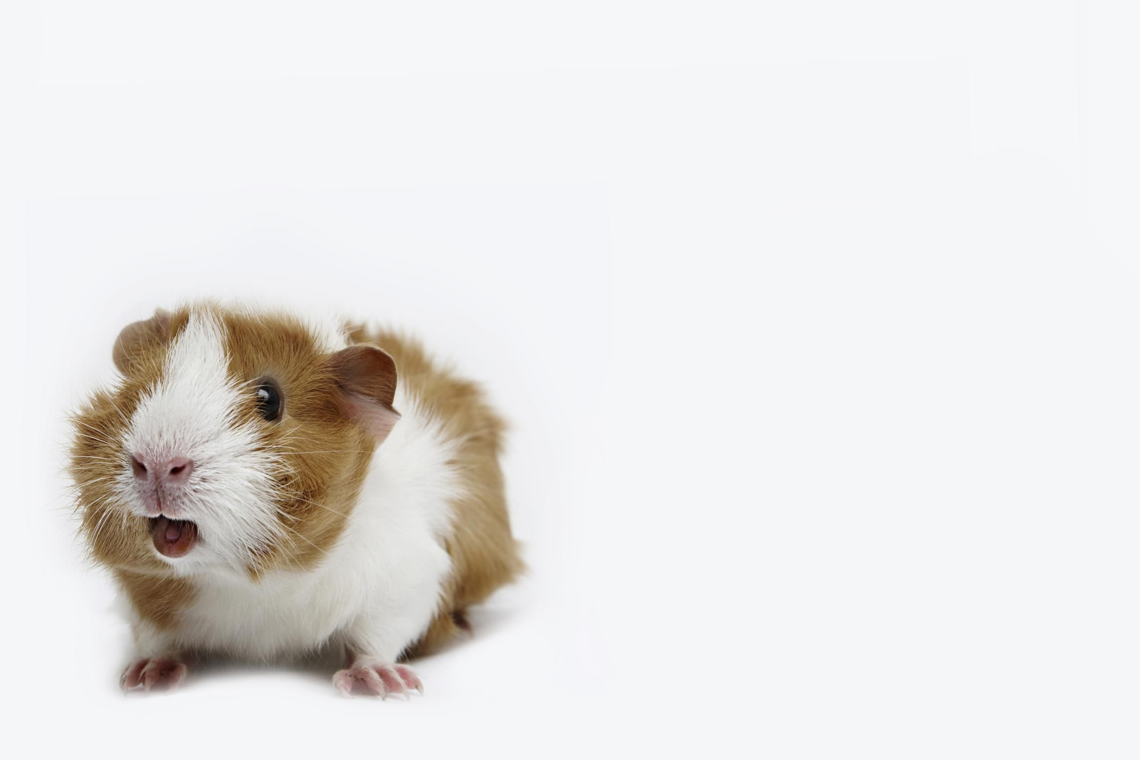 How to Decipher Guinea Pig Sounds and Body Language