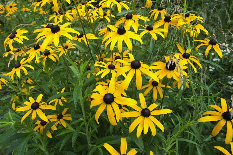 10 perennial flowers to start from seed black eyed susan mightylinksfo