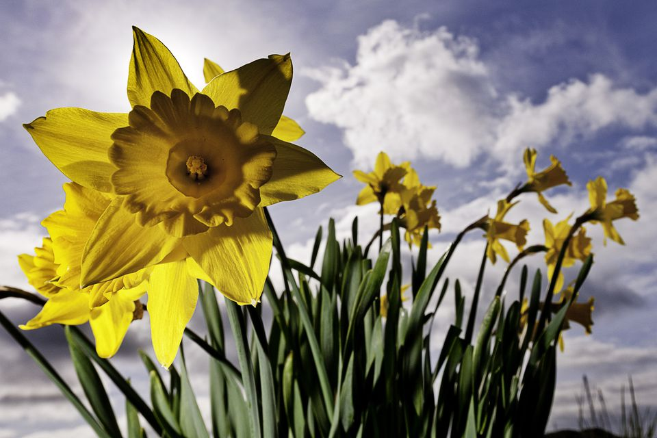 Artistic photo of daffodil flowers.