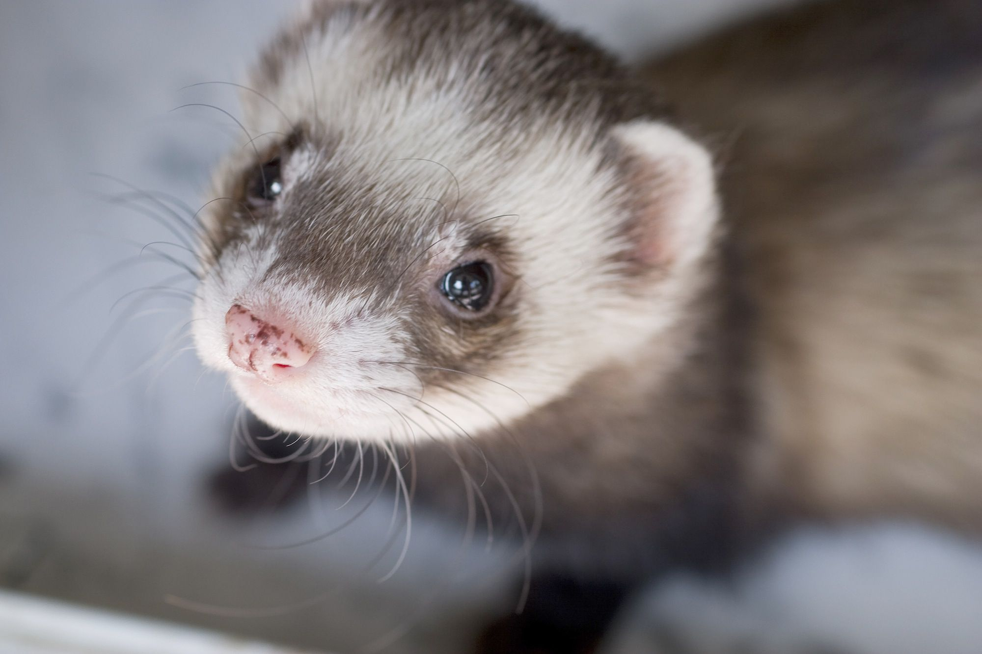 What Cat Food Is Best For Ferrets