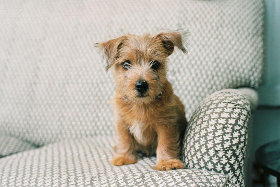 Norfolk Terrier Puppy