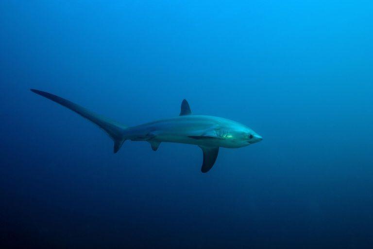 thresher shark, Alopias vulpinus, Island