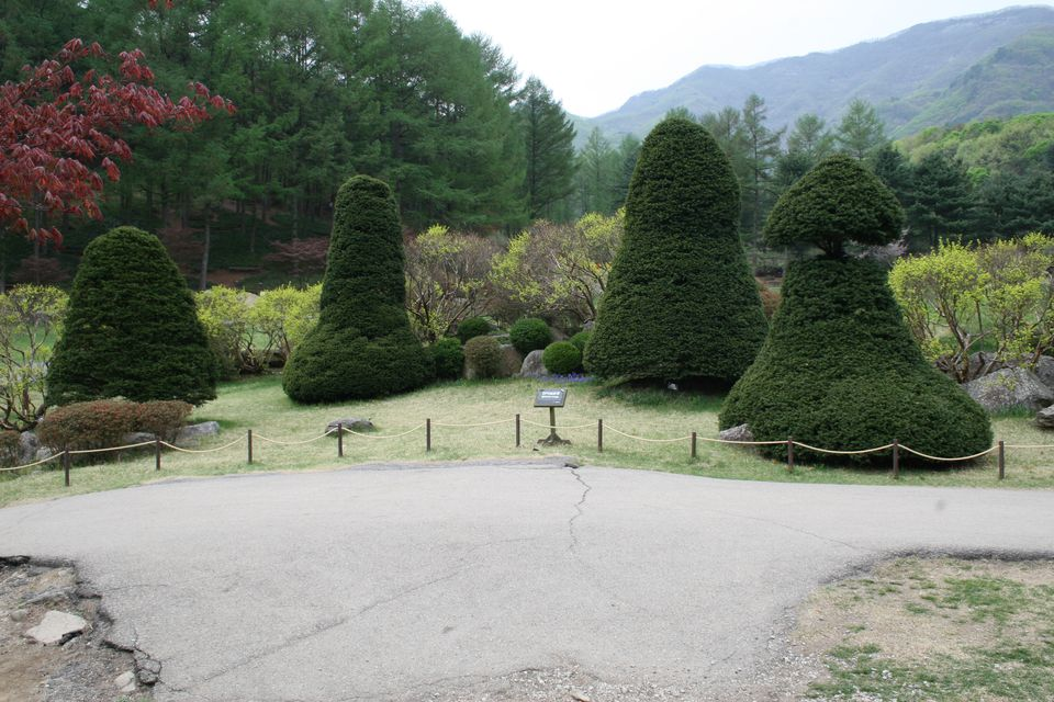 A set of suggestively trimmed Japanese Yew trees