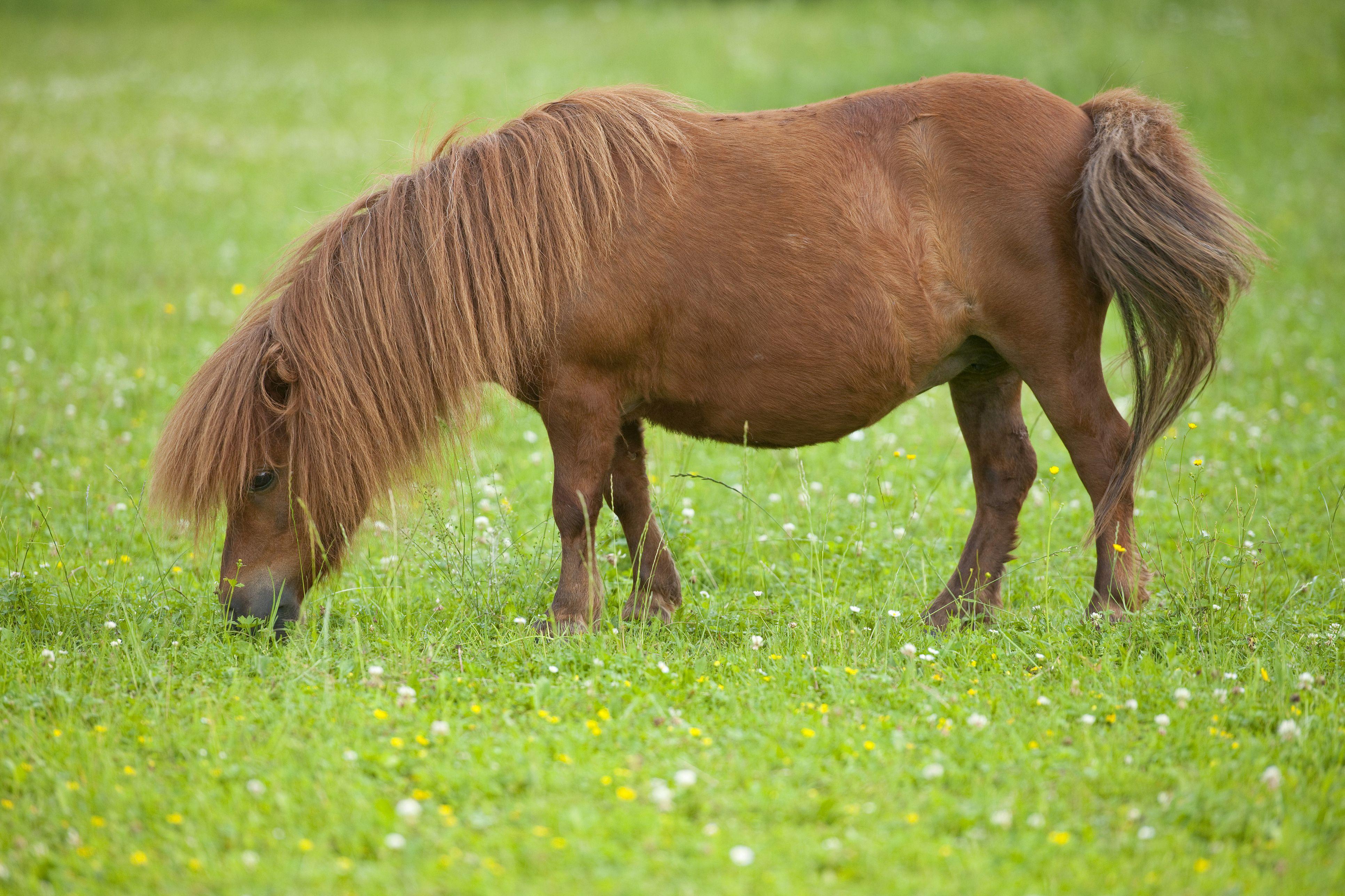 Uncategorized Pony Picture meet the shetland pony