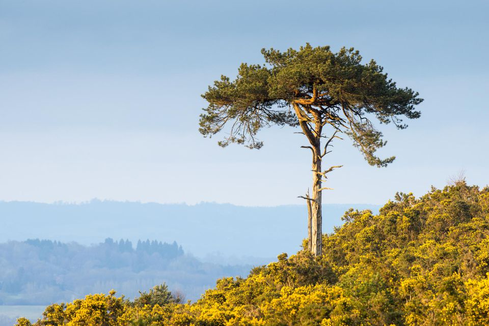 Scots pine in flowering common gorse