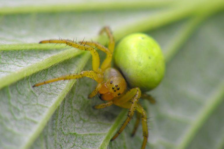 Cucumber green spider - Araniella cucurbitina