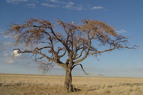 A tree at Etosha National Park, Namibia