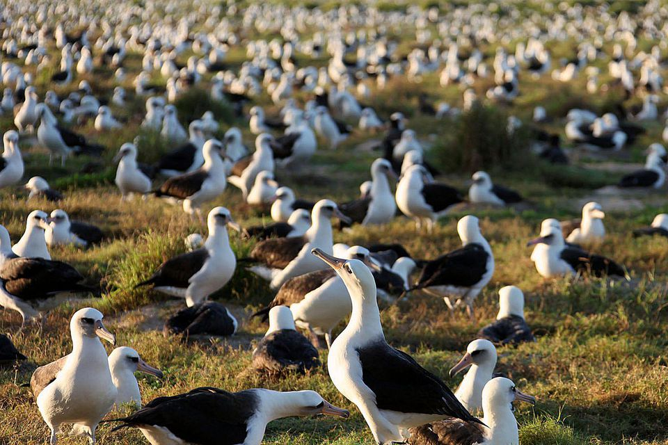 Laysan Albatross Nesting Colony