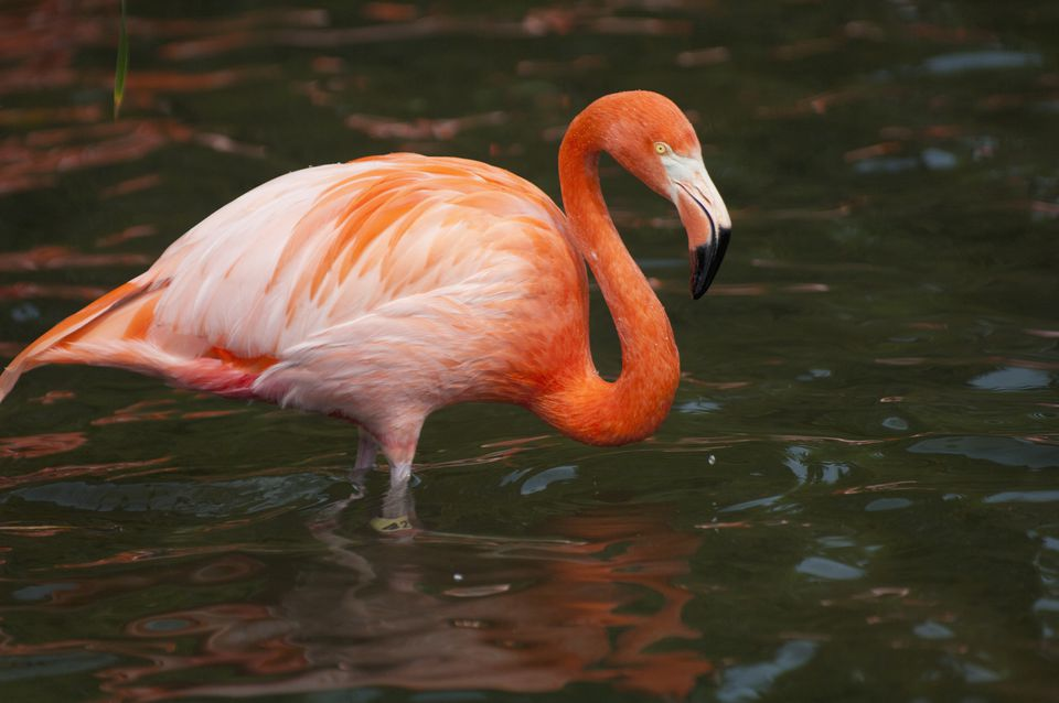 Flamingo in lake