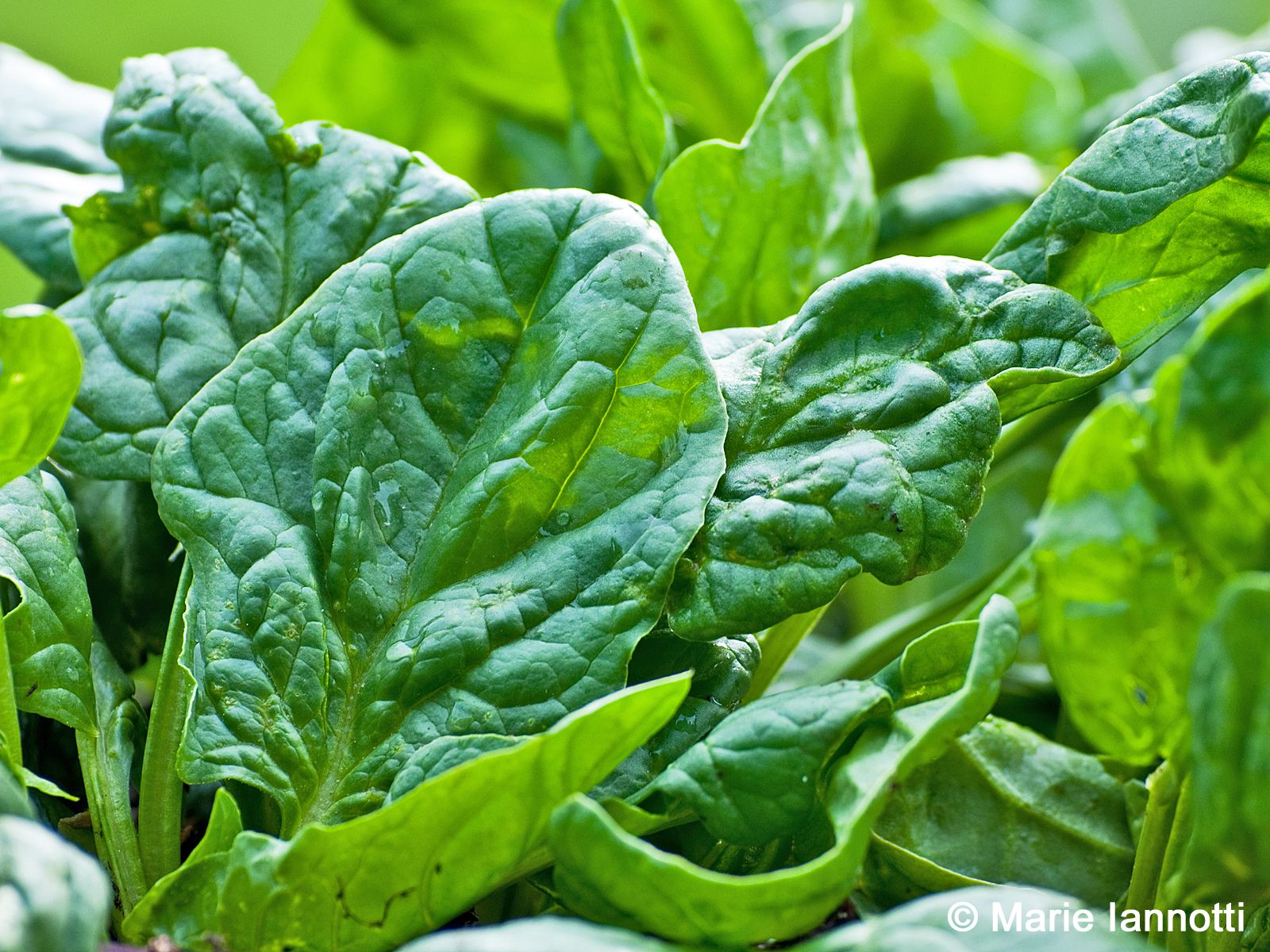 Home food garden - How To Grow Spinach In The Home Vegetable Garden