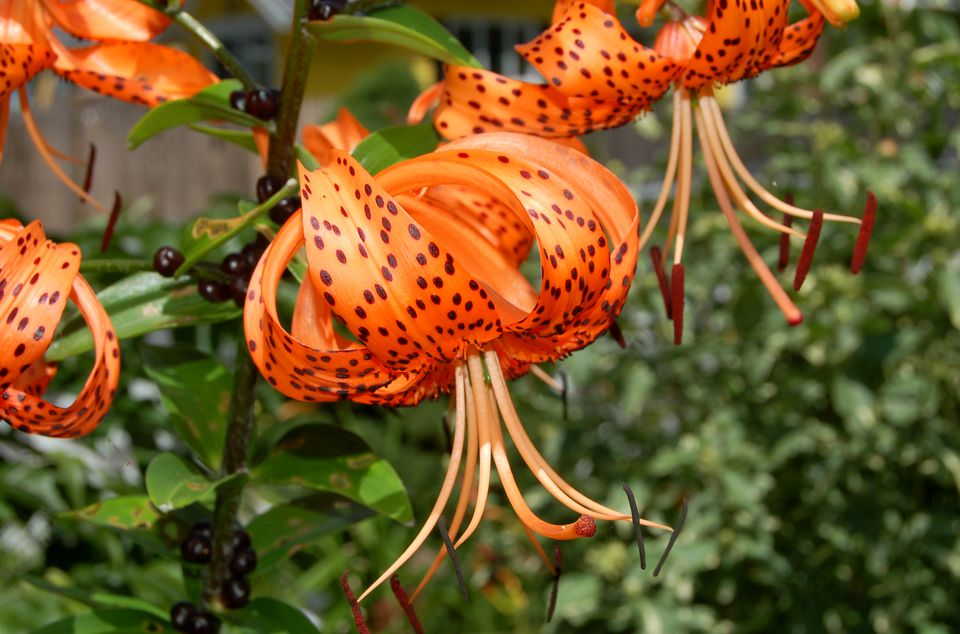 Image of tiger lily flower.