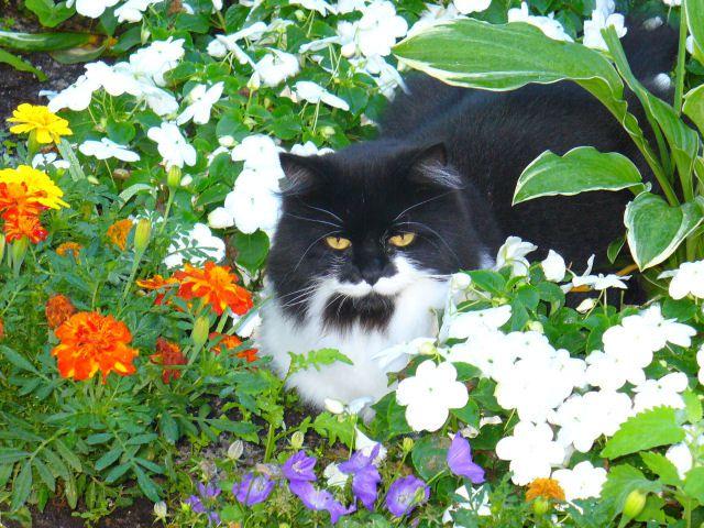 Longhair tuxedo cat in a flower garden