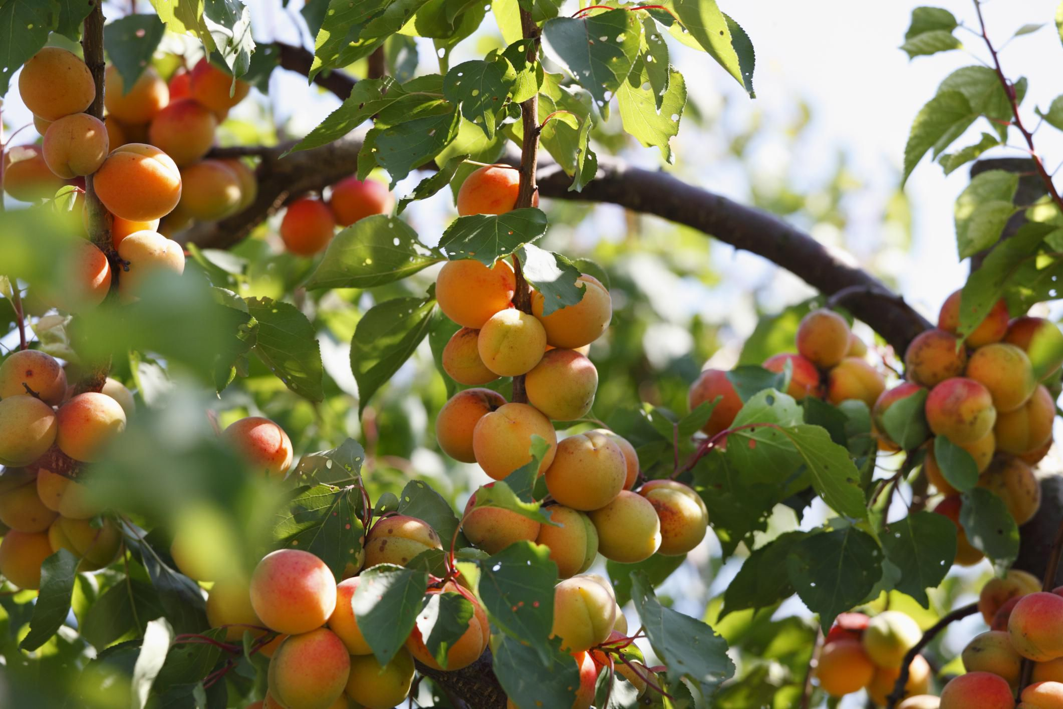 All about self fertile fruit trees for Fruit trees