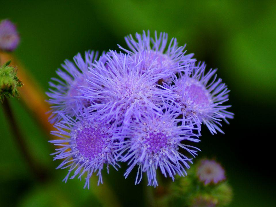 Ageratum has blue flowers.